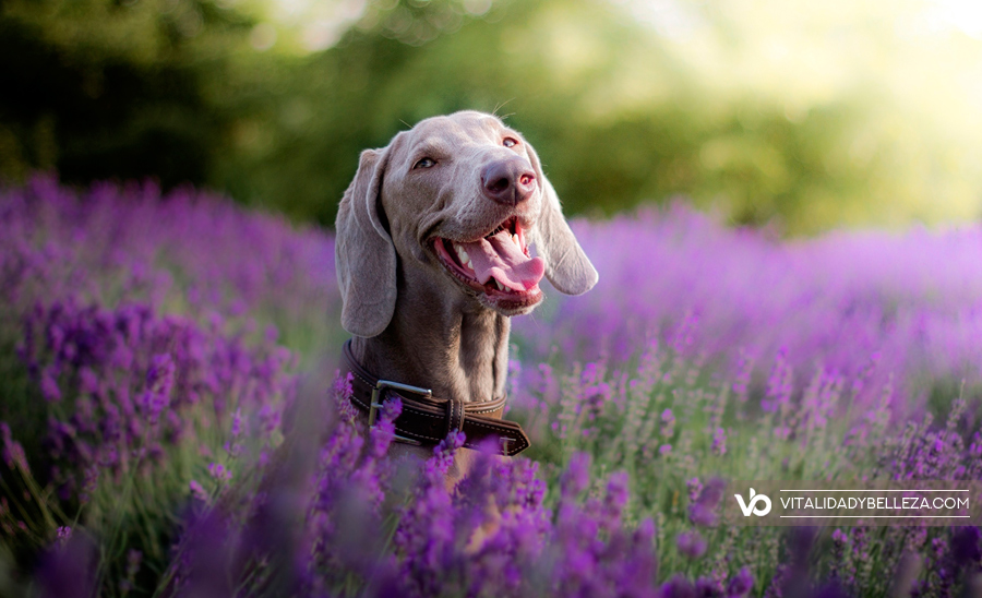 Aceites essenciales para perros